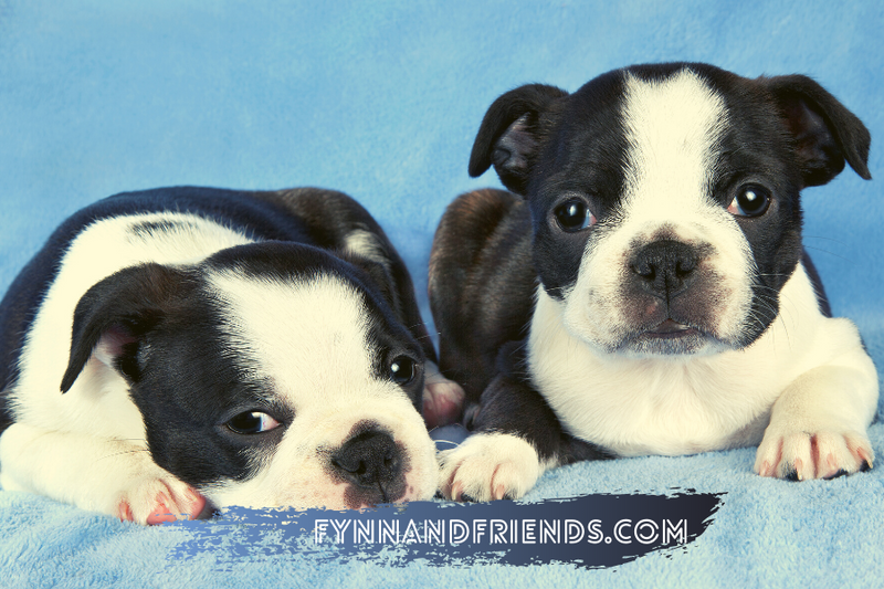 two boston terrier puppies with blue background