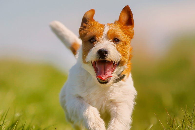 Jack Russel running towards you