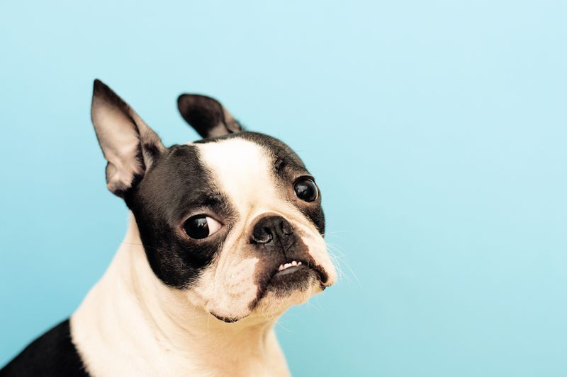 9 Tail-Wagging Fun Facts About Boston Terriers