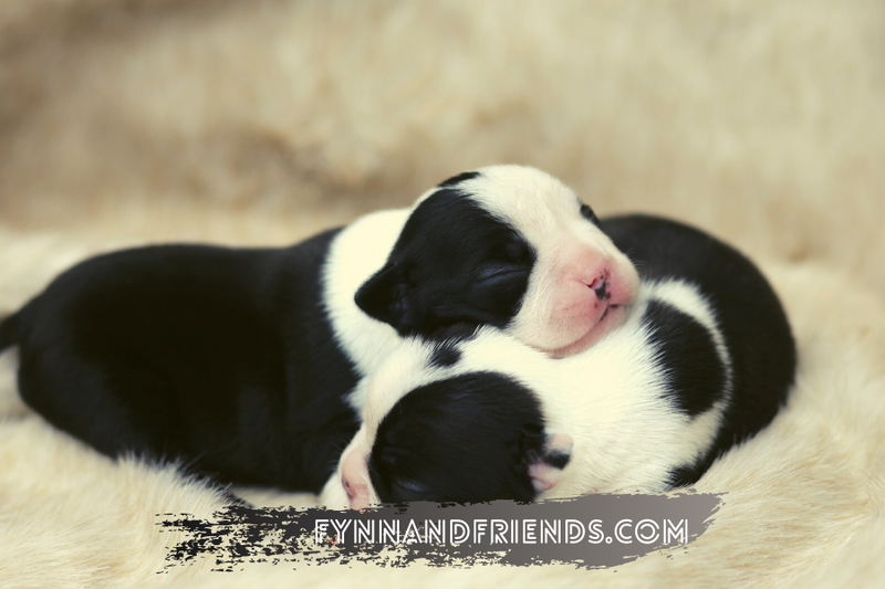 two baby boston terriers sleeping on top of each other in a fluffy blanket