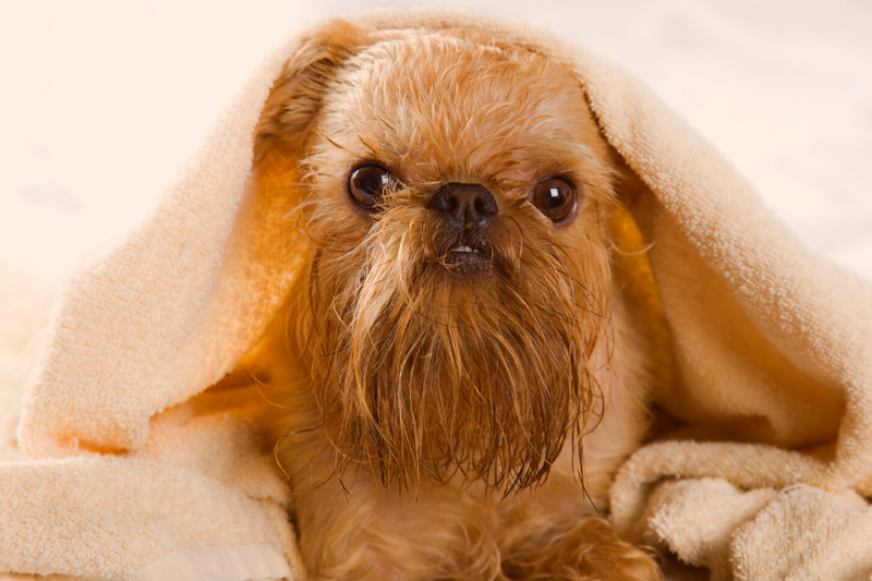 Griffon Bruxellois breed can result to longhaired Boston Terrier mixed breeds