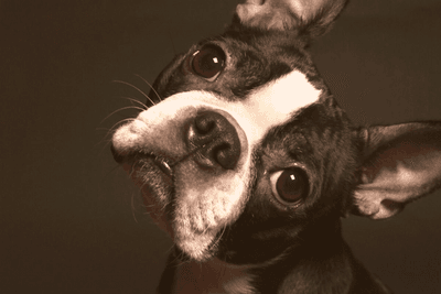 closeup shot of Boston Terrier