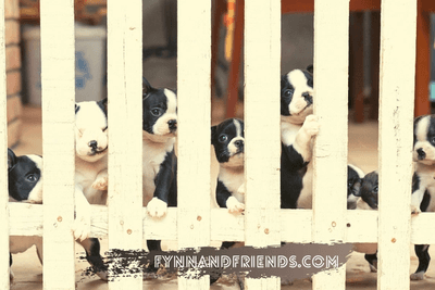 Boston Terrier puppies in a fence