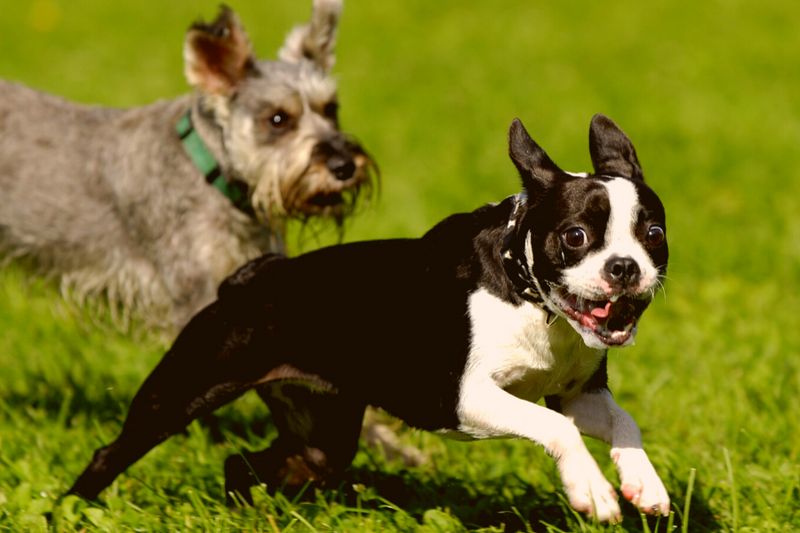 3 Things You Should Know Before You Buy Boston Terrier Crossbreeds