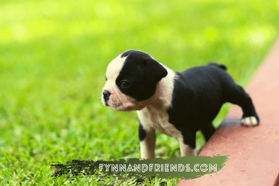 boston terrier puppy in a grassy field