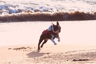 Boston Terrier mid jump on a beach