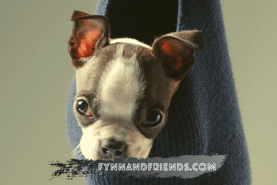 brown boston terrier in a navy blue sock