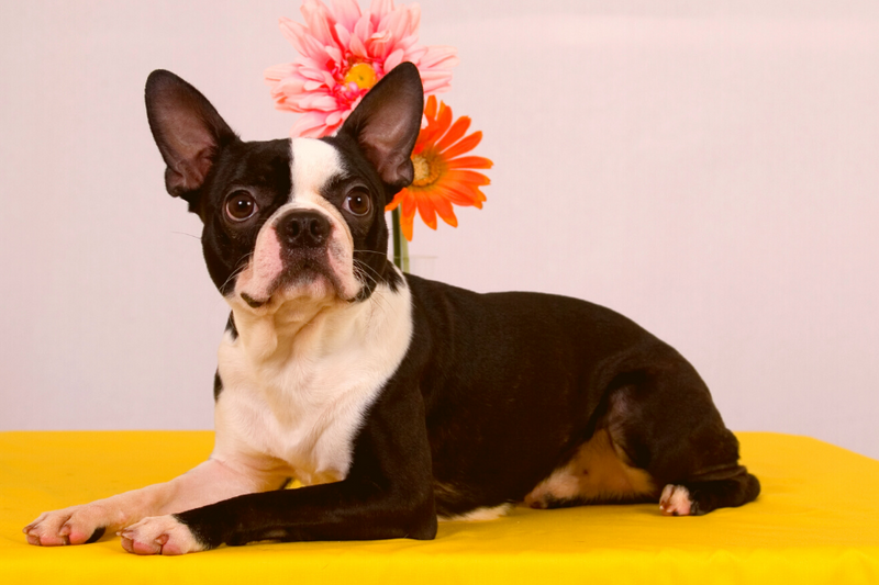Where To Buy Boston Terrier Puppies In Ohio