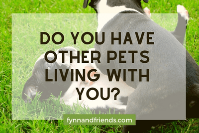 Do you have other pets living with you? with two boston terrier puppies playing