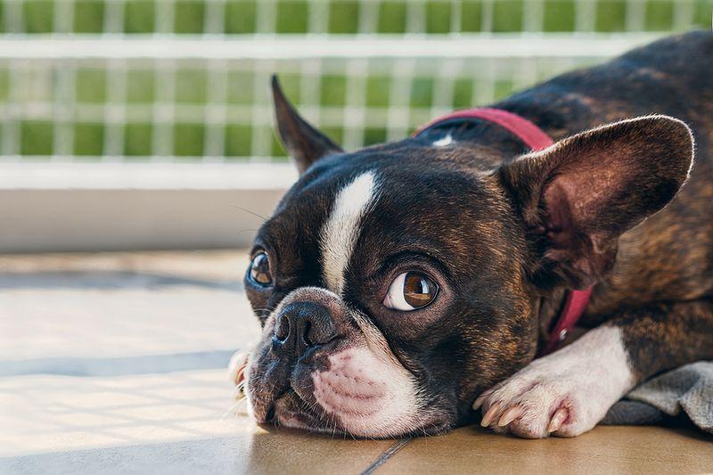 Close Up Shot of Boston Terrier Lying in Wooden Floor With Garden Background