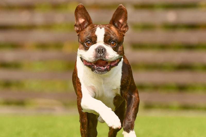 boston terrier personality are often joyful and friendly