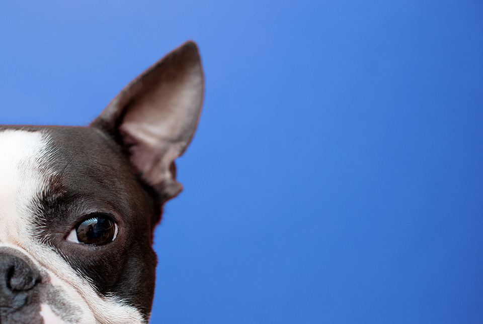 Boston Terrier Website