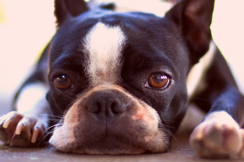 Boston Terrier health issues on the bones can often bring them pain and discomfort.