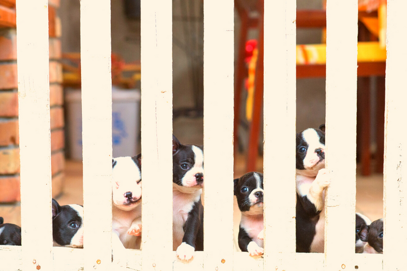 How To Not Get Scammed By Boston Terrier Breeders