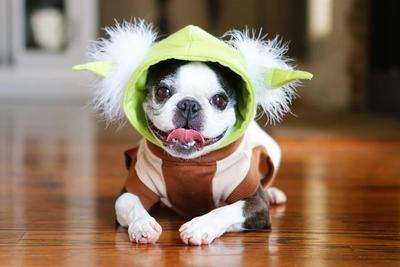 Boston_Terrier_is_a_family_pet