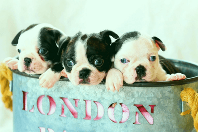 boston terrier for sale puppies in blue basket