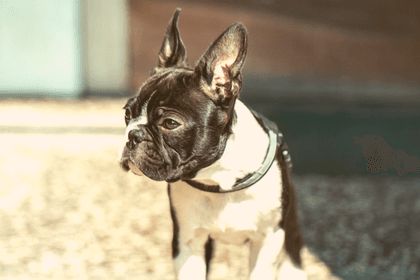 How To Know If A Boston Terrier Rescue Is Fake