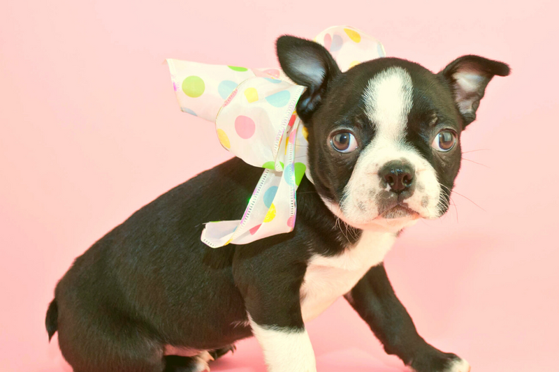 260 Creative & Unique Boston Terrier Names From A-Z