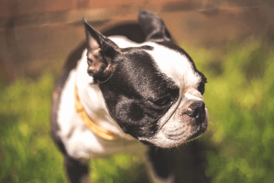 Boston Terrier side profile closeup