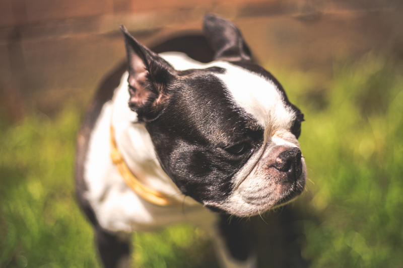 Boston Terrier Shedding Issues & Tips