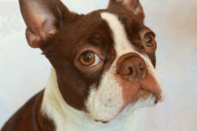 Red boston terrier close up shot
