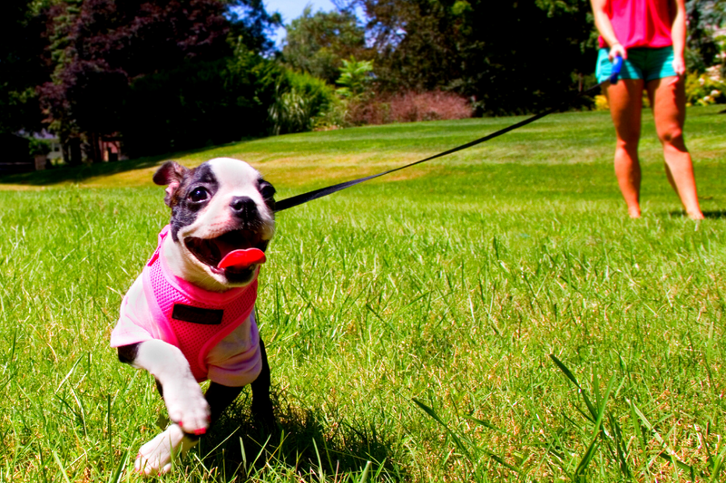 boston terrier puppy running with owner