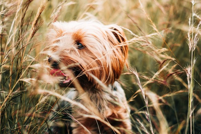 Close up shot of a smiling Yorkshire Terrier with golden brown hair looking at the left and in a wheat field