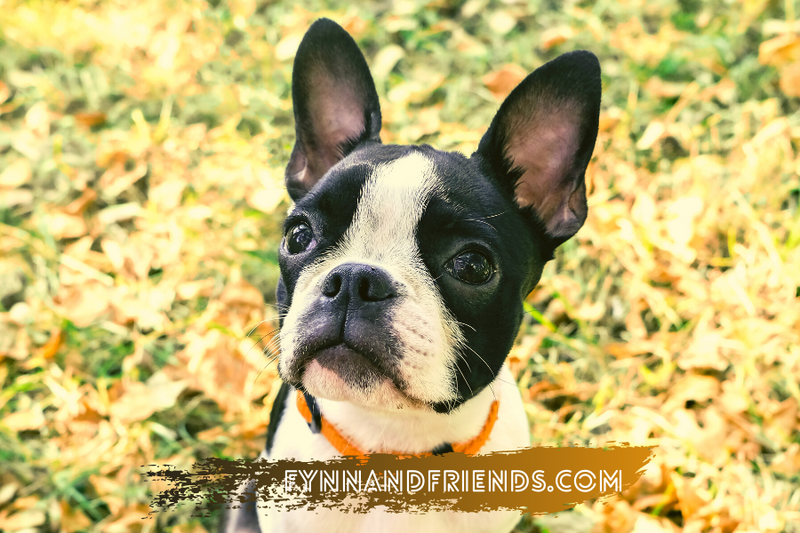 boston terrier puppy looking up