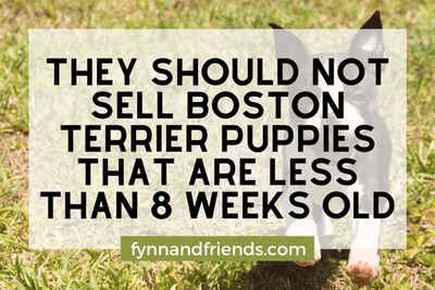 Boston Terrier puppy running in a field