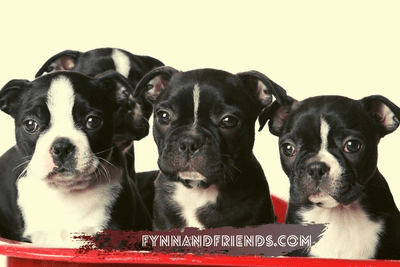 four boston terrier puppies in a red basket