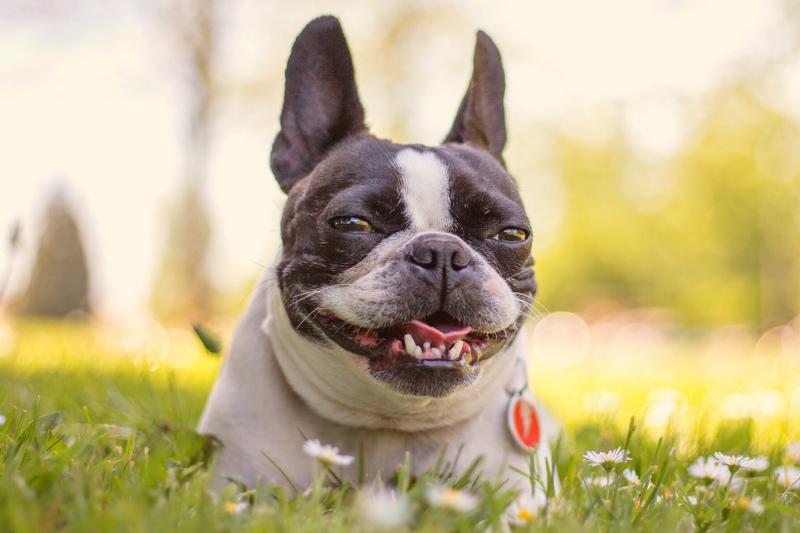 Boston Terrier in a flower field