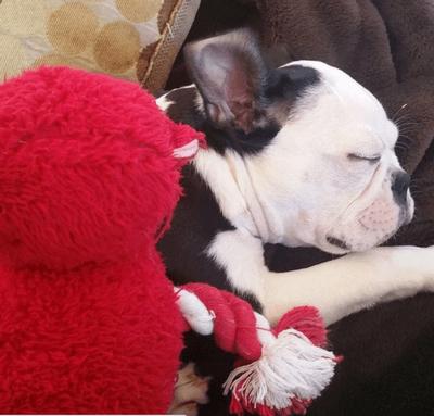 boston_terrier_puppy