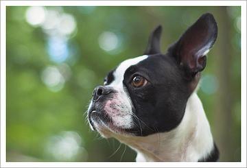 Boston Terrier Training Guide