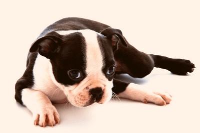 Boston Terrier puppy lying down