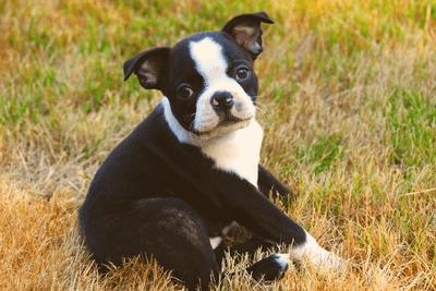 Boston terrier lying on a grassy field