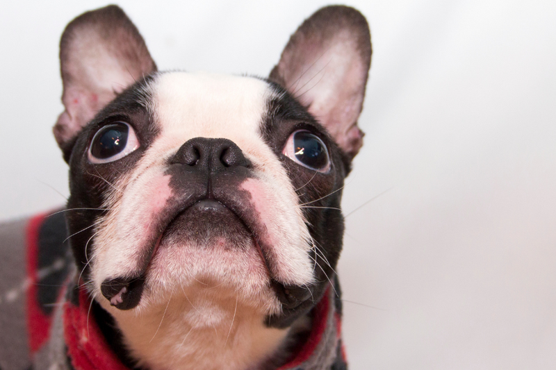 Are Boston Terriers Smart? 5 Reasons Why They Are