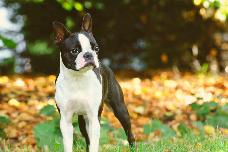 Boston Terrier with autumn leaves in the background