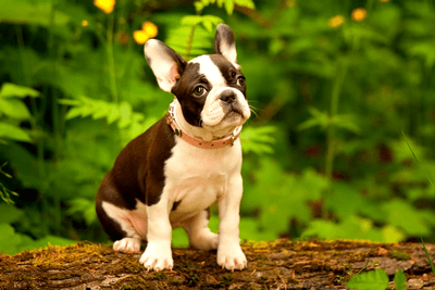 Boston terrier on top of a tree bark with wildflowers in the background