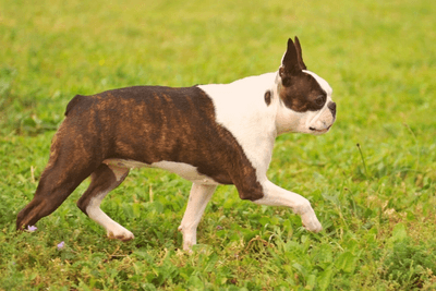 Boston Terrier walking on a field