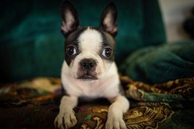 Boston Terrier puppy sitting on a patterned carpet