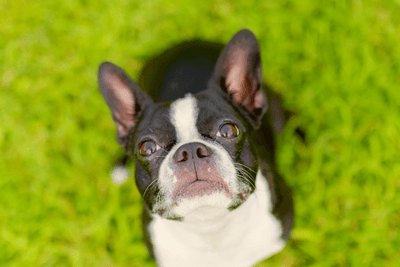 Boston Terrier looking up