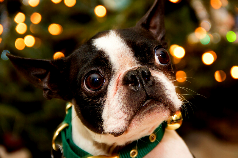 Boston Terrier looking up with christmas lights in the background