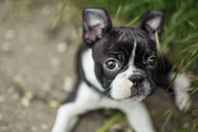boston terrier prices are around $800 - $5000