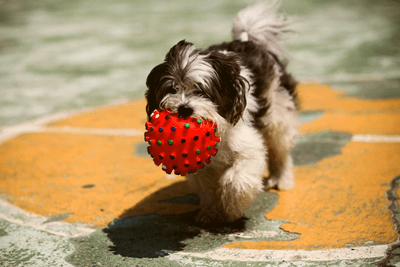 small dog breed clutching a red ball
