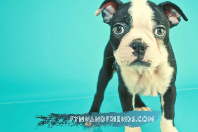 boston terrier puppy in blue background