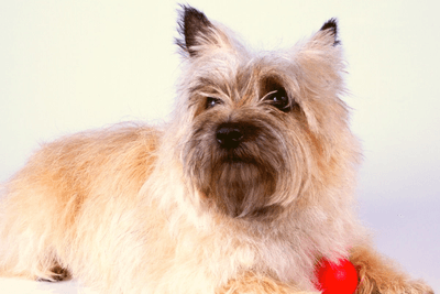 Cairn Terrier posing with red ball
