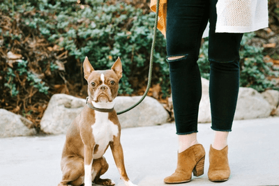 Brown Boston terrier on a leash with owner