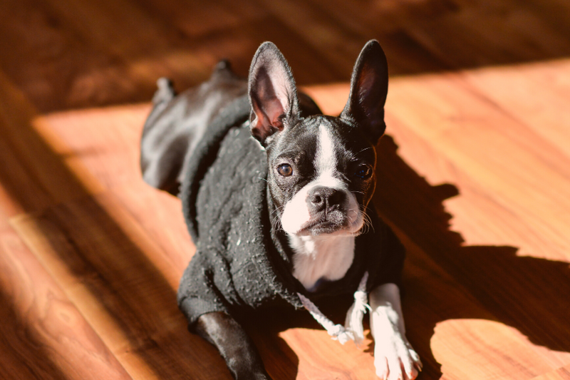 Why You Should Avoid Boston Terriers For Sale In Craigslist