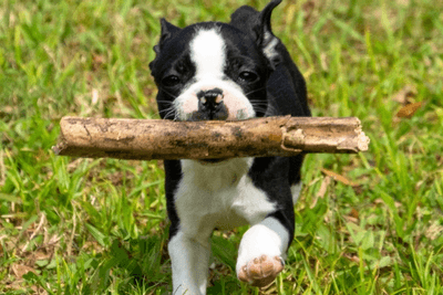 boston terrier with a stick
