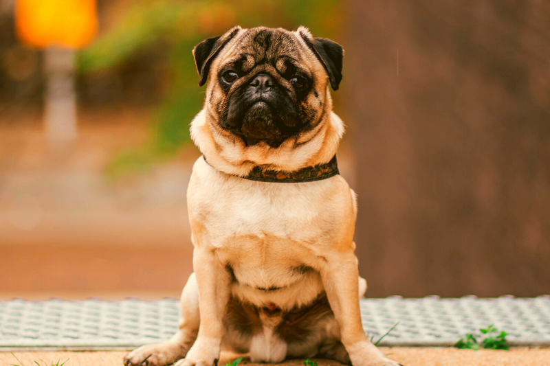 Pug sitting in a stairway
